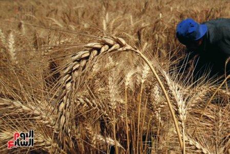 52016514832604موسم-حصاد-القمح...-سنابل-الذهب-تشرق-على-أرض-مصر--(1)